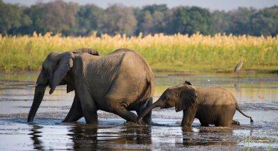 Obraz Słoń z dzieckiem przez rzekę Zambezi.Zambia. Lower Zambezi National Park. Zambezi River. Doskonałą ilustracją.