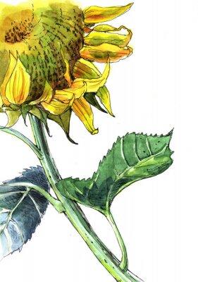 Obraz słonecznik, akwarela