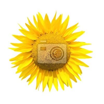 Słonecznik wyizolowanych z wycinek ścieżki