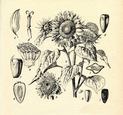 Obraz Słonecznik zwyczajny (Helianthus annuus)