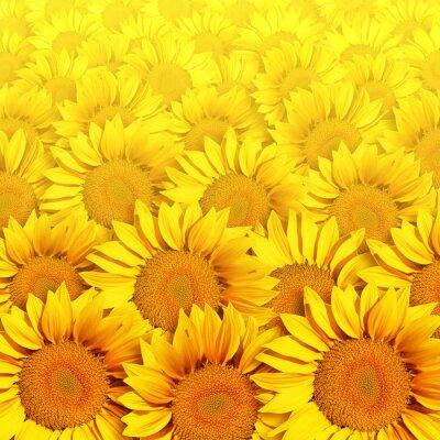 Obraz Słoneczniki