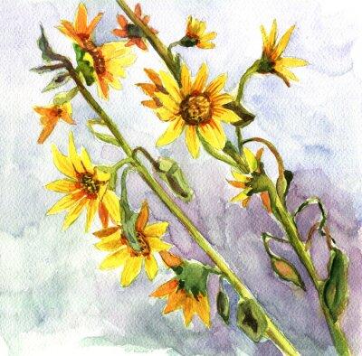 Obraz słoneczniki, akwarela