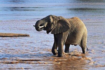 Obraz słoni afrykańskich w sawanny