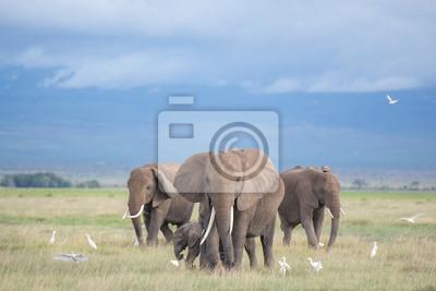 Obraz słoni w Amboseli / Family