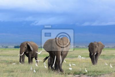 Obraz Słonie afrykańskie / Kenia