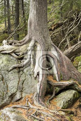 Sosna korzenie na dużym kamieniu