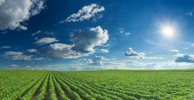 Obraz Soybean fields rows in summer season