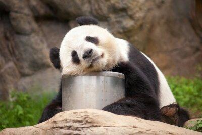 Obraz Spanie Panda