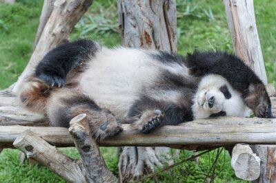 Obraz Spanie panda bear