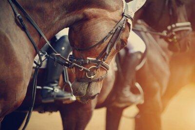 Obraz Sport brązowe konie przed zawodami.
