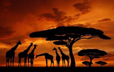 Stado żyraf w zachodzącym słońcu