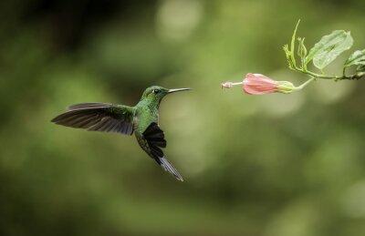 Stripe bielik Hummingbird