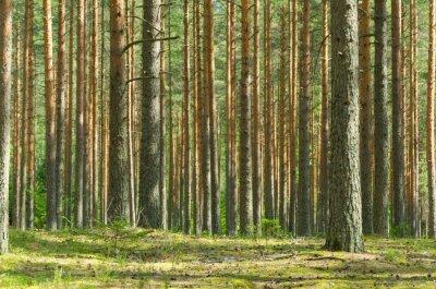 Obraz Summer Pine Forest