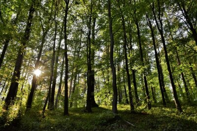 Obraz sun rays in the forest