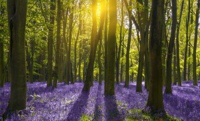 Obraz Sunlight casts shadows across bluebells in a wood