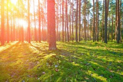 Obraz Sunrise w lesie sosnowym