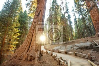 Obraz Sunset in Sequoia national park in California, USA