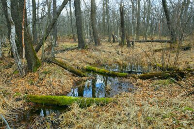 swamp in spring forest
