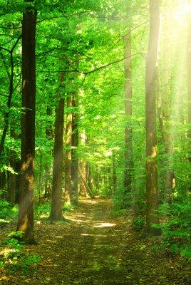 Obraz światło słoneczne las