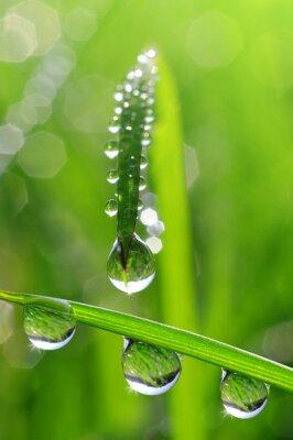 Obraz Świeża trawa krople rosy z bliska