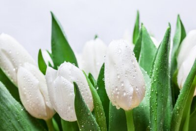 Obraz Świeże biały tulipan bukiet z kropli wody Close-up na białym tle. Wiosna