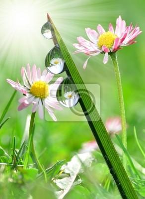 Świeże krople rosy z trawy w tle stokrotki