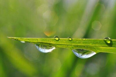 Obraz Świeże zielona trawa z kropli rosy bliska. Rodzaj t