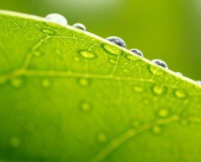 Obraz Świeżych zielonych liści w tle