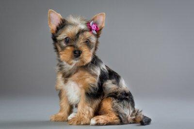 Obraz Szczeniak Yorkshire terrier