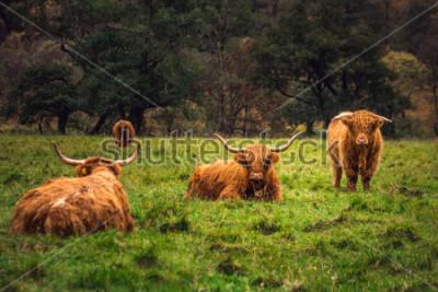 Obraz Szkocka górska krowa w polu z dużymi rogami i długimi włosami, Szkocja.