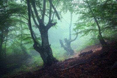 Obraz Szlak przez tajemniczą ciemną starego lasu we mgle. Jesień