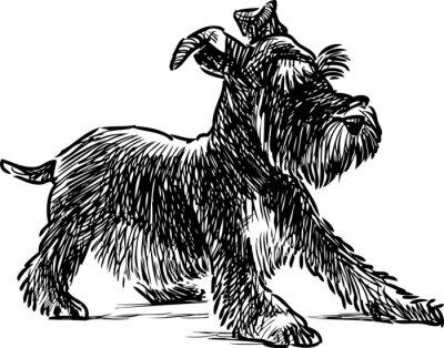 Obraz sznaucer szczeniaka
