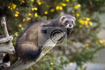 Obraz Tchórz wspinaczka na gałęzi