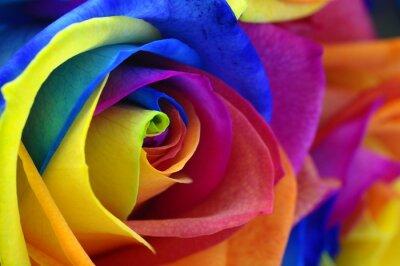 Obraz Tęczowy kwiat róży lub szczęśliwy