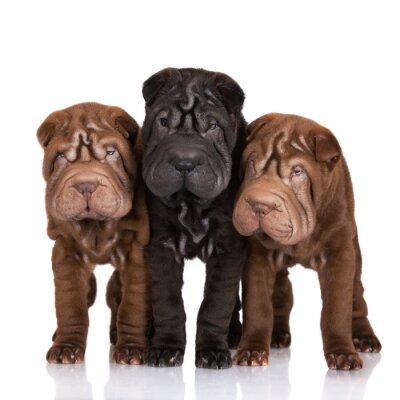 Obraz three shar-pei puppies on white