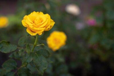 tło. żółta róża z zielonymi liśćmi