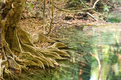 Tropical tree roots in green water of flowing stream in Erawan National park, Thailand