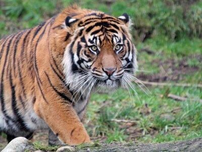 Obraz Tygrys sumatrzański