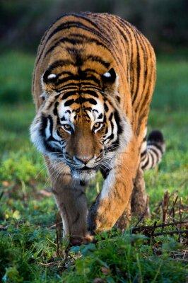 Obraz Tygrys syberyjski