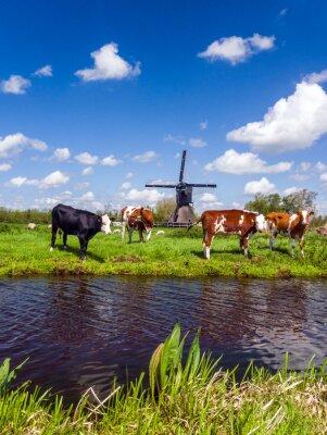 Obraz Typowy holenderski krajobraz z krów na łące i wiatrak w pobliżu wody