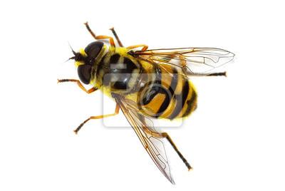 Obraz unoszą się latać Myathropa Florea (Syrphidae), symulując pszczoła