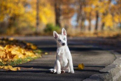 Obraz urocze siberian husky puppy siedzi na zewnątrz jesienią
