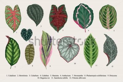 Obraz Ustaw liście. Egzotyki. Ilustracja wektorowa botaniczny rocznika. Kolorowy.
