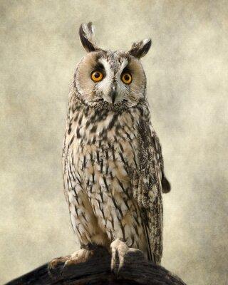 Obraz Uszatka zwyczajna, tekstury dodaje wydobyć sowy piękno.