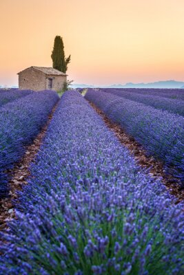 Obraz Valensole, Provence, Francja. Lawendowe pole pełne fioletowe kwiaty
