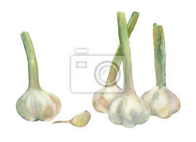 watercolor painting garlic