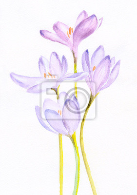 watercolor painting of a bouquet of a purple crocuses