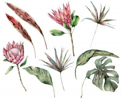 Obraz Watercolor tropical set with protea and palm leaves. Hand painted exotic flower, palm and monstera leaves isolated on white background. Floral illustration for design, print, fabric or background.