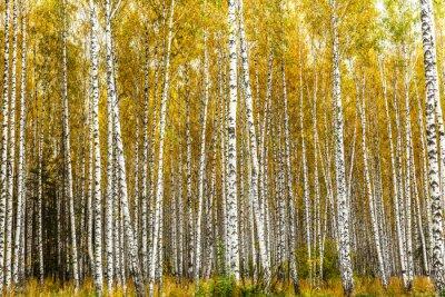 Obraz Wczesną jesienią brzozowy gaj
