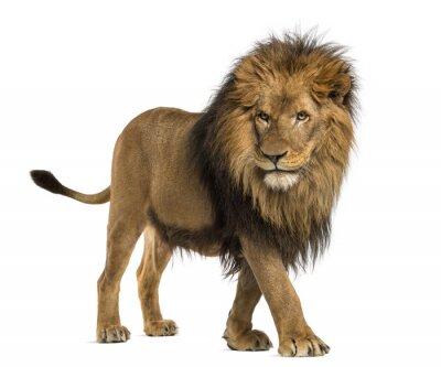Obraz Widok z boku z chodzenia Lion, Panthera leo, 10 lat